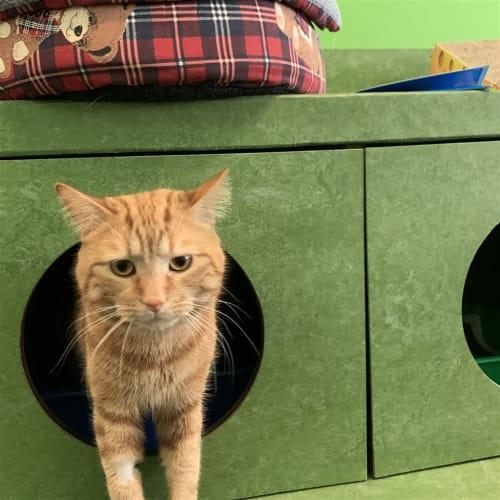 Butter Bean - Domestic Short Hair Cat