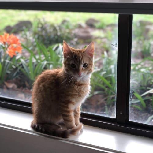 Big Bean (with Poppy) - Domestic Short Hair Cat
