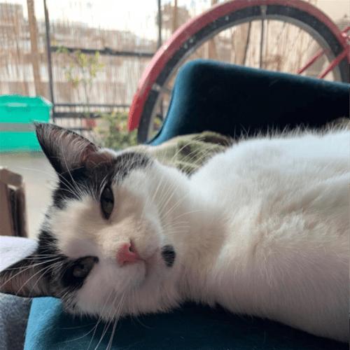 Cordelia - Domestic Short Hair Cat