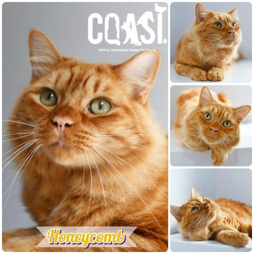 Honeycomb - Domestic Medium Hair Cat