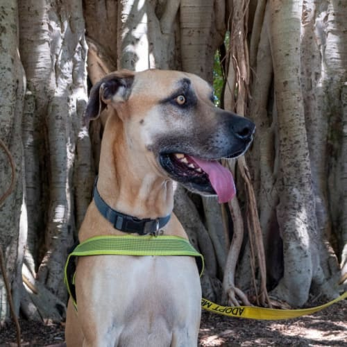 Boss - Great Dane Dog