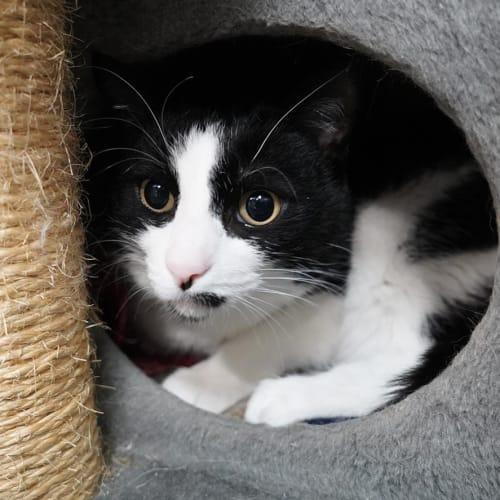Shera - Domestic Short Hair Cat