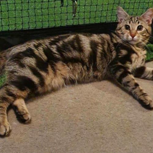 3423 - Rowan - Domestic Short Hair Cat