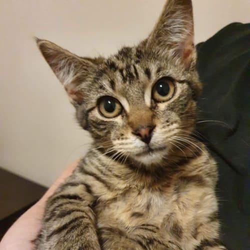 Mystic  - Domestic Short Hair Cat