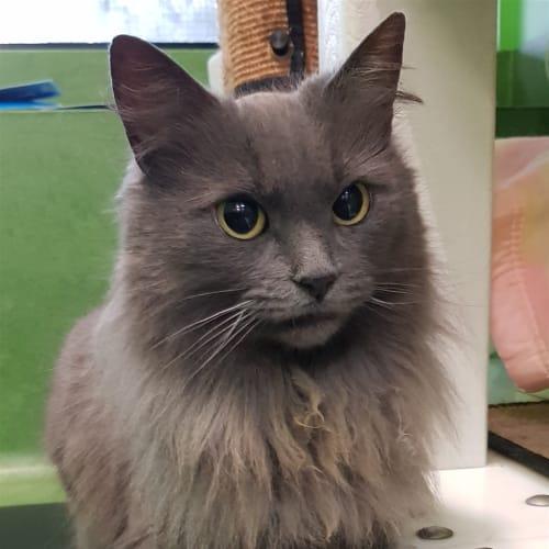 Vivian - Domestic Medium Hair Cat