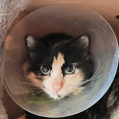 Irina - Domestic Longhair Cat