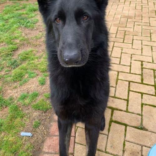 Thor - German Shepherd Dog