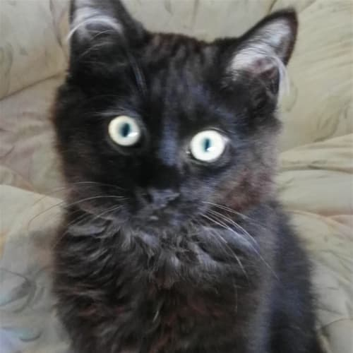 Cadbury - Available From Foster - Domestic Medium Hair Cat