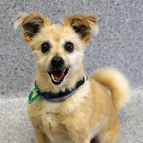 Dexter - Pomeranian x Terrier Dog