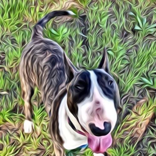 Marlee - foster carer needed - Bull Terrier Dog