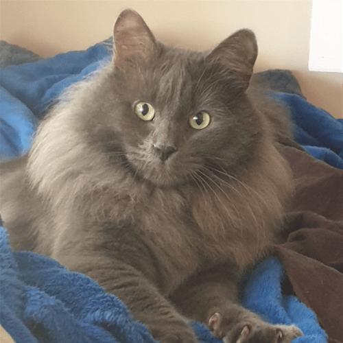 William - Domestic Longhair Cat