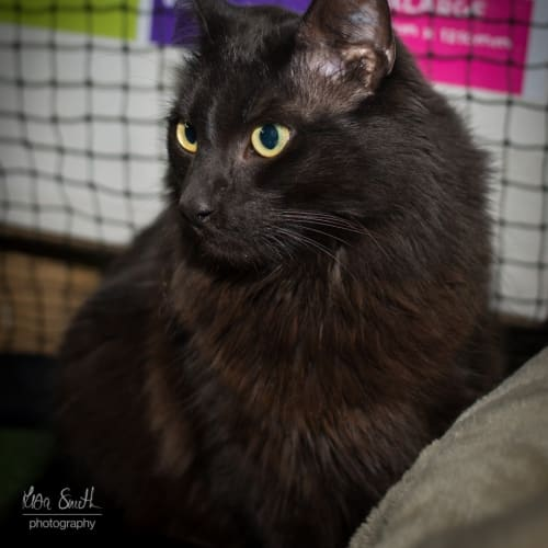 3775 - Steve - Domestic Medium Hair Cat