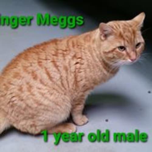 Ginger Meggs - Domestic Short Hair Cat
