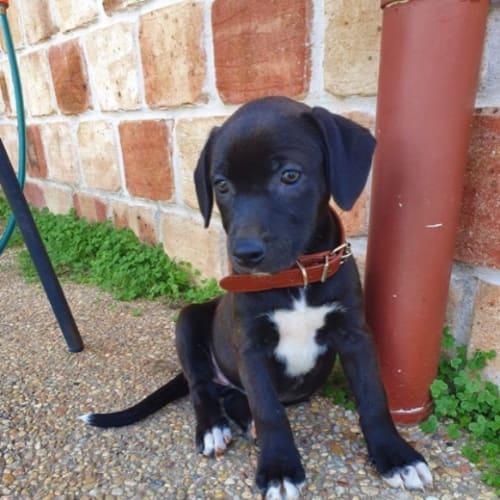 Blair - Husky x Staffordshire Bull Terrier Dog