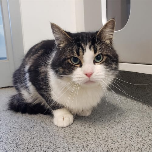 Mr Wilson - Domestic Medium Hair Cat
