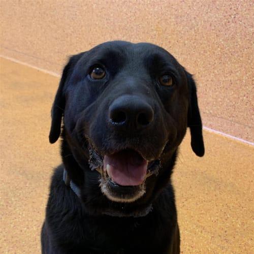 Eddie - Labrador Retriever Dog
