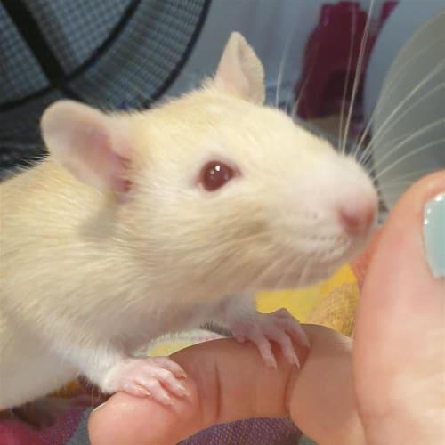 Gravity - Rat Rodent