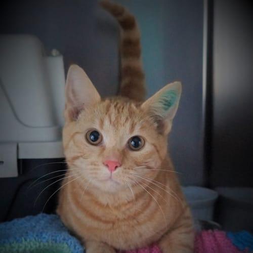 Marlon Brando - Domestic Short Hair Cat