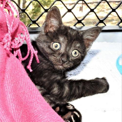 Annalisa - Domestic Short Hair Cat