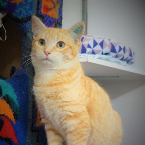 Hogie - Domestic Short Hair Cat
