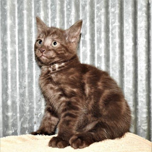 Andrea - Domestic Short Hair Cat