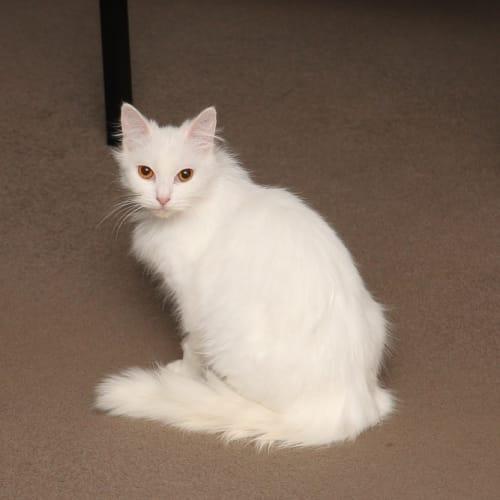 Cleo - Ragdoll x Himalayan Cat