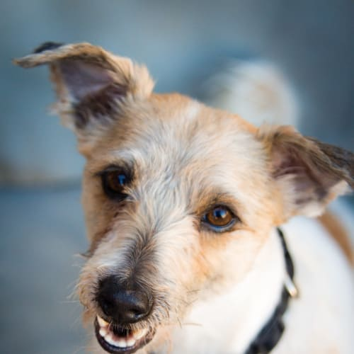 Scruffy  - Jack Russell Terrier x Silky Terrier Dog