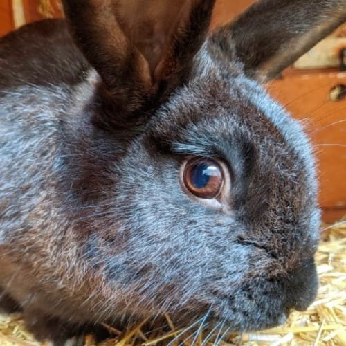 Dave - American Rabbit