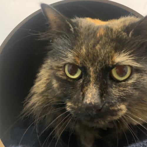 Tink - Domestic Medium Hair Cat