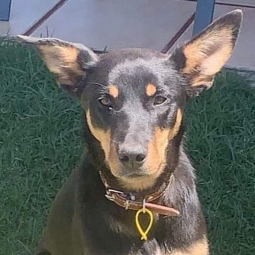 Bindi - Kelpie Dog