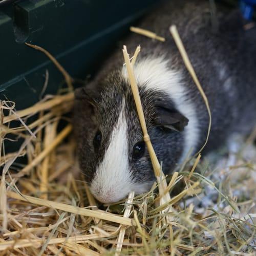Nutmeg - Smooth Hair Guinea Pig