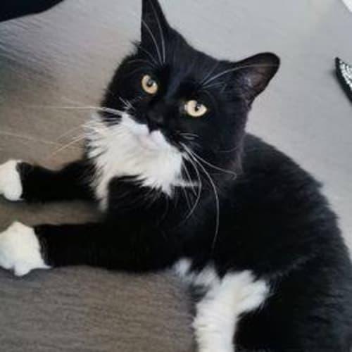 3704 - Mimimeow - Domestic Medium Hair Cat