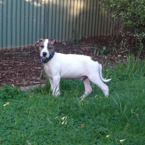 Howard - Kelpie Dog