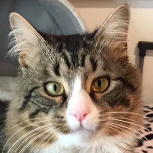 Danny Boy - Domestic Medium Hair Cat