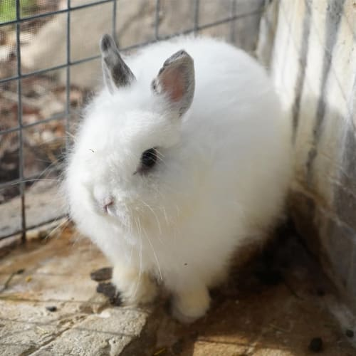 Eleanor - Jersey Wooly Rabbit
