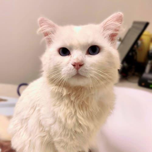3449 - Aslan - Domestic Short Hair Cat