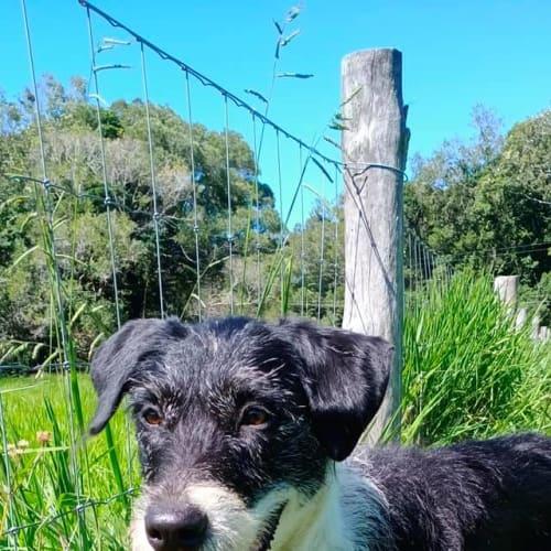 Lulu - Irish Wolfhound x Border Collie Dog