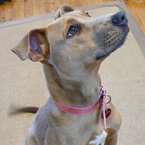 Keisha - Staffy Dog