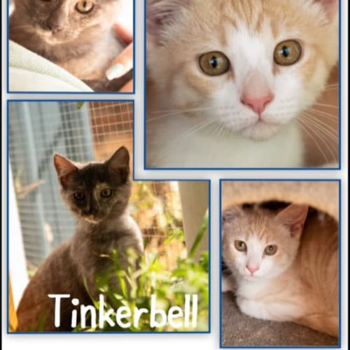 Nemo / Tinkerbell - Domestic Medium Hair Cat