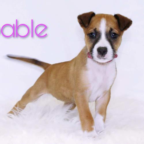 Sable  - Shar-Pei x Kelpie Dog