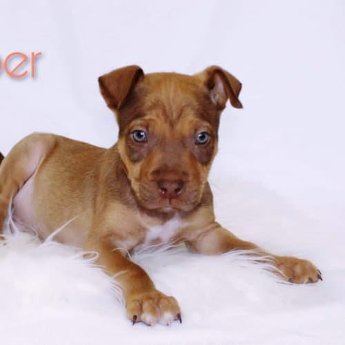 Copper  - Shar-Pei x Kelpie Dog