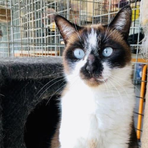 Jamani - Snowshoe Cat