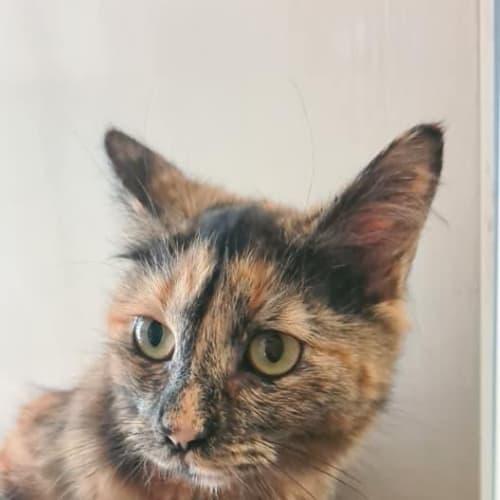 Gypsy - Domestic Medium Hair Cat