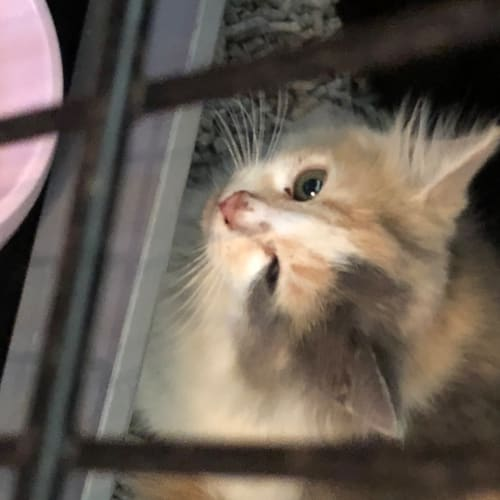 Susie  - Domestic Medium Hair Cat