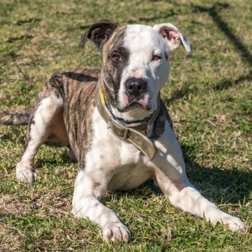Archie - Mastiff Dog