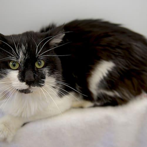 Striker - Domestic Medium Hair Cat