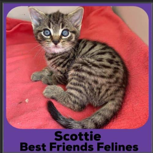 Scottie  - Domestic Short Hair Cat