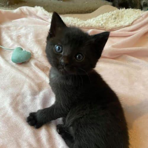 Sammie  - Domestic Short Hair Cat