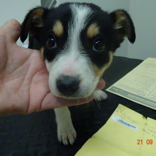 Crumpet - Kelpie Dog
