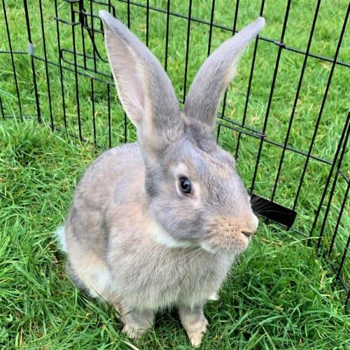 George - Flemish Giant Rabbit